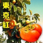 柿 苗木 甘柿 東京紅 (トウキョウベニ) 2年生 接ぎ木 ロングスリット 鉢植え 果樹 果樹