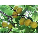 【アンズ苗木】平和あんず1年生接ぎ木苗 果樹