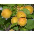 アンズ苗木 おひさまコット(サニーコット 大実あんず1年生接ぎ木苗 果樹