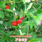 沖縄産アセロラ ポット苗果樹 熱帯果樹 予約販売2017年7月中旬頃お届け予定