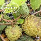 熱帯果樹 森のアイスクリーム アテモヤの木 ピンクマンモス 接木苗 果樹苗 果樹 常緑樹