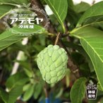 沖縄産アテモヤ ポット苗 森のアイスクリーム 果樹 熱帯果樹 予約販売2017年7月中旬頃お届け予定