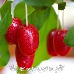 ビックリグミ  2年生 ロングスリット鉢苗  果樹 果樹苗 鉢植え 木