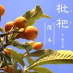 ビワ 苗木 茂木びわ (モギ) 1年生 接ぎ木 苗 果樹 果樹