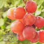 ブドウ 苗木 安芸クイーン ウィルスフリー1年生 接ぎ木 苗  果樹 ぶどう 苗 果樹苗