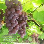 ブドウ 苗木 デラウェア ウィルスフリー 2年生 接ぎ木 苗 ぶどう 産地で剪定済 1.0m苗