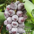 ブドウ 苗木 オリエンタルスター ウィルスフリー1年生 接ぎ木 苗  果樹 ぶどう 果樹苗