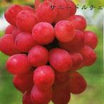 ブドウ 苗木 サニードルチェ ウィルスフリー 1年生 接ぎ木 苗 ぶどう 予約販売12月頃入荷予定