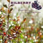 掘り出しものブルーベリー 苗木 ワイルドブルーベリー ビルベリー 根巻き大苗