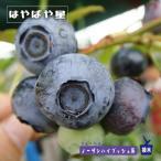 ブルーベリー 苗木 はやばや星 ノーザンハイブッシュ系 2年生 接ぎ木苗 ブルーインパルス