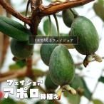 フェイジョア アポロ 鉢植え品 1年生苗 果樹 果樹苗