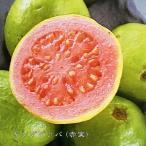 熱帯果樹 キンググァバ (赤実) ポット苗 果樹 果樹苗 南国 珍しい熱帯果樹