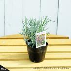 苗木部 花ひろばオンラインで買える「ハーブ 苗 スーパーラベンダー(ラバンディン系) 3号ポット苗」の画像です。価格は302円になります。