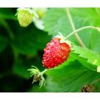 ハーブ ワイルドストロベリー赤実3号ポット苗宿根草 苗 多年草 耐寒性