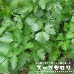 ハーブ スープセロリ(スープセルリー) 3号ポット苗宿根草 苗 多年草 耐寒性