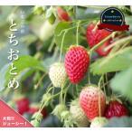 いちご 苗 とちおとめ 3号ポット苗 イチゴ 苺 予約販売9月末頃入荷予定