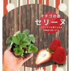 いちご 苗 四季成り性セリーヌ 3号ポット苗 イチゴ 苺