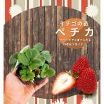 いちご 苗 四季成り性ペチカ 3号ポット苗 イチゴ 苺