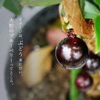 掘り出しもの四季成り ジャボチカバ 3年生大苗 果樹 果樹
