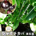 熱帯果樹  四季成り ジャボチカバ 2年生 実生苗 果樹 果樹苗