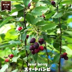 ジューンベリー 矮性ジューンベリースイートバンビ ポット苗 矮性 果樹 果樹苗