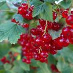 赤実フサスグリ 苗木 ロンドンマーケット 1年生 接ぎ木 苗 果樹 果樹