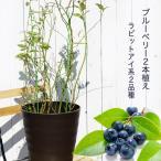 ブルーベリー 苗木 アベックブルーベリー ( 2本植え ) フレグラーポット ラビットアイ系 果樹 果樹