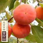柿 苗木 :完全甘柿 富有柿 (フユウガキ) 2年生 接ぎ木 スリット鉢植え 果樹 予約販売10月頃入荷予定