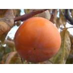 柿 苗木 :完全甘柿 甘秋 (カンシュウ) 1年生 接ぎ木苗 果樹