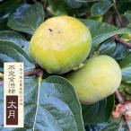 柿 ( カキ ) 苗 渋柿 太月(タイゲツ) 1年生 接ぎ木 苗 果樹 果樹苗