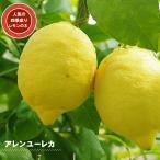 レモンの木 アレンユーレカレモン 2年生 接ぎ木 苗木