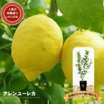 ショッピング苗 柑橘類 苗木 レモンの木アレンユーレカレモン2年生 接ぎ木 苗6号スリット鉢植え 果樹 レモン 苗