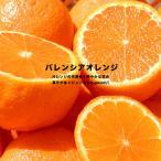オレンジ 苗木 バレンシアオレンジ 1年生 接ぎ木 苗 果樹 果樹