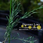 珍しいライムの木 デザートライム 2年生 接ぎ木苗