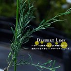 珍しいライムの木 デザートライム 1年生 接ぎ木苗