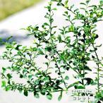 フィンガーライム 苗木 「コレット」 果皮:黒 果肉:緑実 2年生 接ぎ木苗
