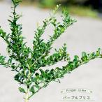 フィンガーライム 苗木 「パープルブリス」 果皮:黒 果肉:紫実 2年生 接ぎ木苗