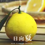 【 日向夏 ( ひゅうがなつ ) 】 ニューサマーオレンジ 2年生 接ぎ木 苗 柑橘 果樹 果樹