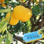柑橘類 苗木 じゃばら 苗 2年生 接ぎ木 苗 果樹ジャバラ