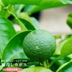 ゆず 苗木 種無しカボス 2年生 接ぎ木 ポット苗  柑橘 果樹 果樹