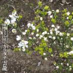 カラタチ 苗 香のけむり (コウノケムリ) 雲竜型 ポット苗 柑橘類 枳殻 からたち キコク