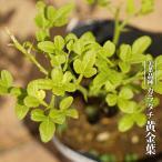 カラタチ 苗 黄金葉 ポット苗 柑橘類 枳殻 からたち キコク