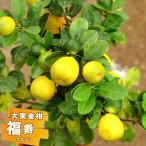 柑橘類 苗木 金柑 苗 大実きんかん 福寿 2年生 接ぎ木 果樹 果樹苗