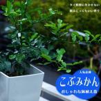 みかん 苗木 こぶみかん ( バイマックルー)  7号 鉢植え コブミカン 観葉植物