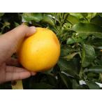 グレープフルーツ 苗 マーシュ 3年生 接ぎ木 大苗 産地で剪定済 1.0m苗 果樹苗 果樹 柑橘