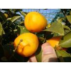 きんかん 苗 種無しキンカン ぷちまる 3年生 接ぎ木 大苗 産地で剪定済 1.0m苗 果樹苗 果樹 柑橘
