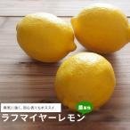 レモンの木 ラフマイヤー 1年生 接木 鉢植え 苗 果樹苗