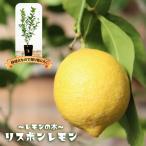 柑橘類 苗木 レモンの木リスボンレモン2年生 接ぎ木 苗6号スリット鉢植え 果樹 レモン