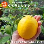 レモンの木 トゲなしリスボンレモン 3年生 接ぎ木 大苗 産地で剪定済 1.0m苗 果樹苗 果樹 柑橘予約販売2018年9月〜10月以降お届け予定