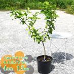 レモンの木 掘り出しもの リスボンレモン 5年生 接ぎ木 特大苗 果樹 果樹苗 柑橘類 レモン 苗木(西濃運輸お届け)(北海道・沖縄・離島不可)